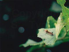 vapourer-moth-caterpillar2